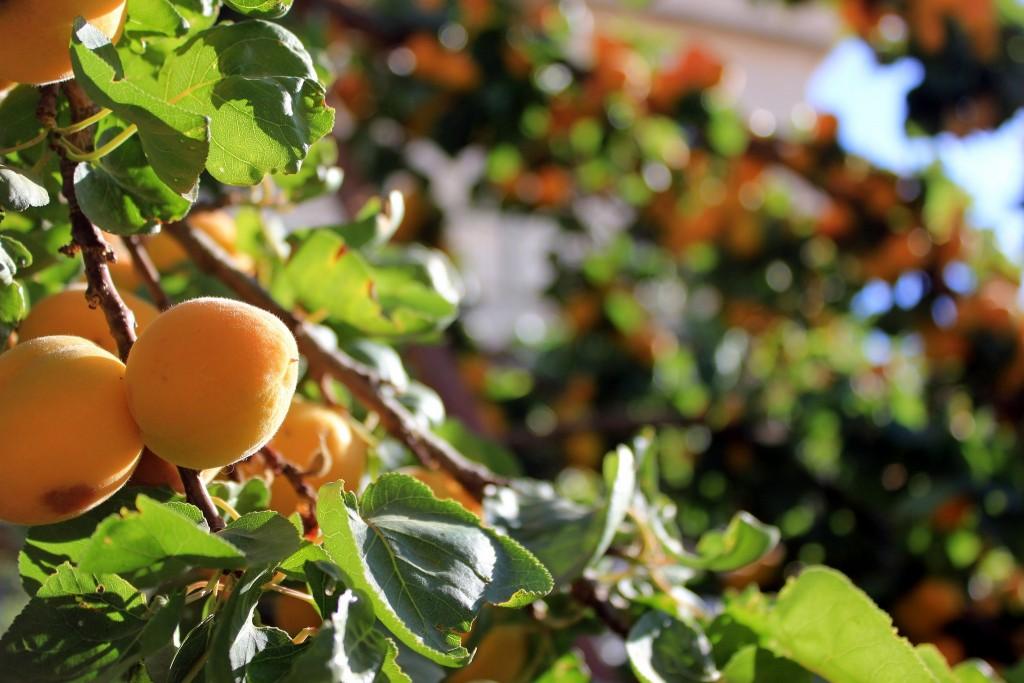 Apricot-trees-by-Yair-Aronshtam-via-Creative-Commons-1024x683