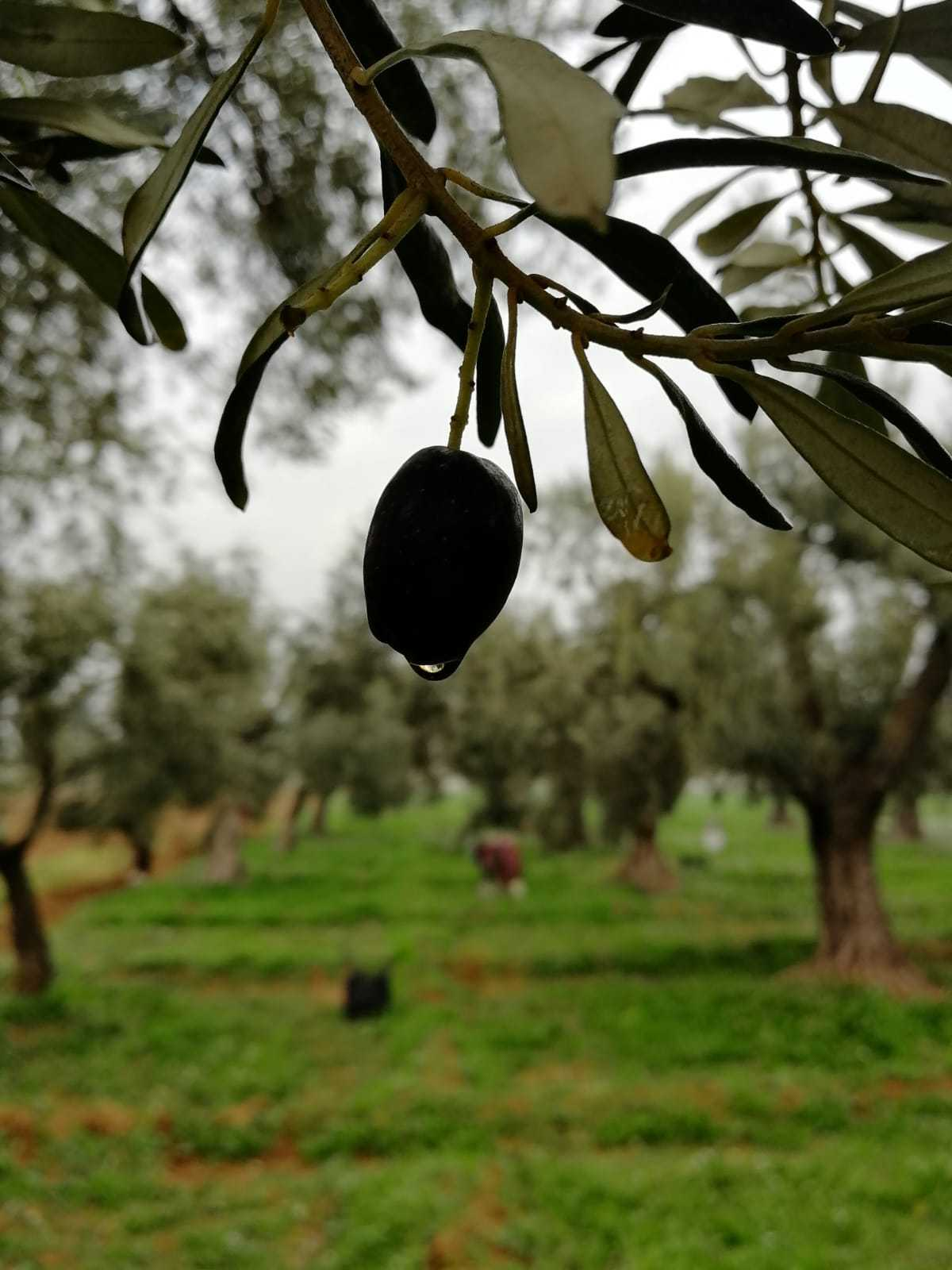 An olive on a tree.